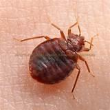Pictures of Treatment Bed Bugs