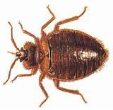 Pictures of Bed Bugs Pest Control